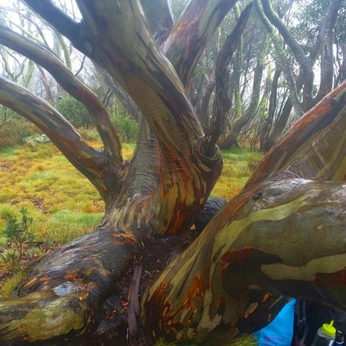 Autumn colours on the snowgums